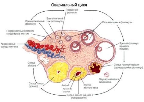 как прирастить овариальный резерв яичников