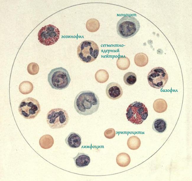 уникальные лейкоцитарная формула фото лучше сделать отдельный